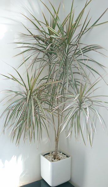 Dragon tree - indoor plants